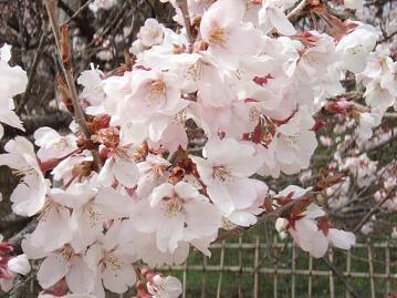 信州・伊那谷の田舎暮らしスタッフ日記 高遠の桜